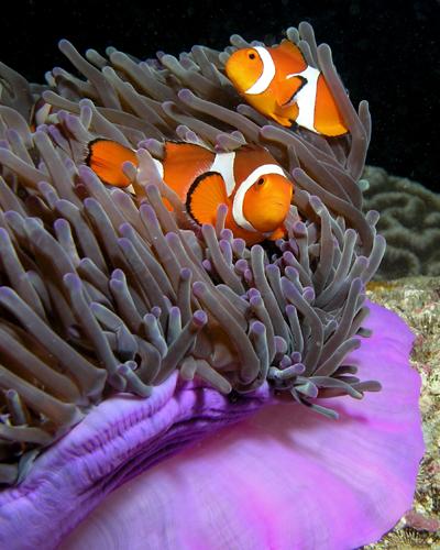 anemone_purple_anemonefish.jpg