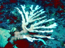 Coral_Bleaching_picture by Paul F Llanos
