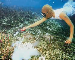This marine aquarium fish collector squirts cyanide into a thicket of staghorn corals (Acropora sp.). This destructive technique is illegal in most areas but poorly enforced.