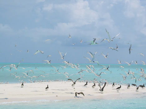 Tubbataha-Seabirds_- Photo by Michael-Marasigan