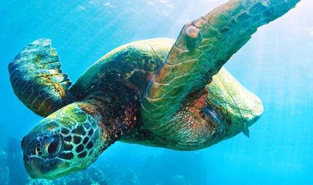 SeaTurtle_WWF