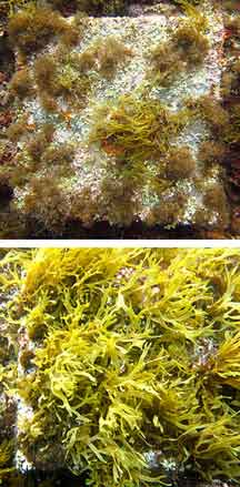 n the top image, a sample tile shows algae growth in ambient seawater conditions. The bottom image shows increased algae growth in an area with acidity levels close to those predicted for 2100. Kristy Kroeker