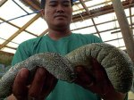 SEA CUCUMBERS are being bred and reproduced at the Bureau of Fisheries and Aquatic Resources center in Alaminos City. YOLANDA SOTELO