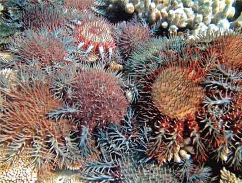 A photo from the Australian Institute of Marine Science shows the coral-eating starfish at the Great Barrier Reef. Australian researchers believe they have found a way to kill the destructive crown-of-thorns starfish that are decimating coral reefs across the Pacific and Indian oceans.